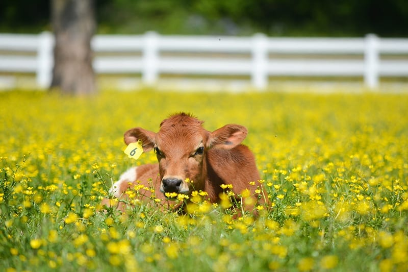 Grassfed dairy calf in a pasture of yellow wildflowers at Working Cows Dairy in Alabama.